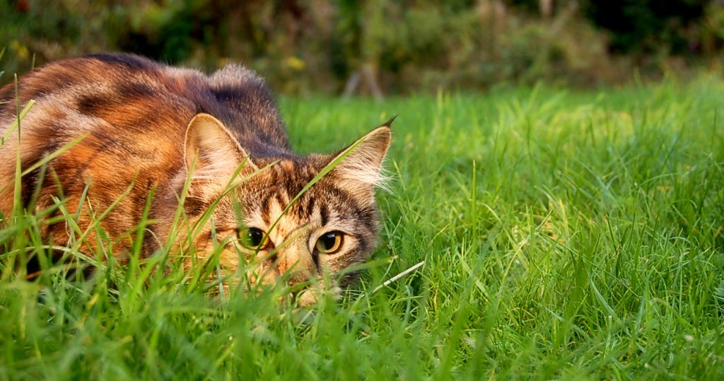 domestic cat stalking prey
